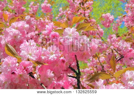 The picture was taken in the spring in Germany. In the picture flowering almond ornamental tree. Pink flowers strewn all branches.