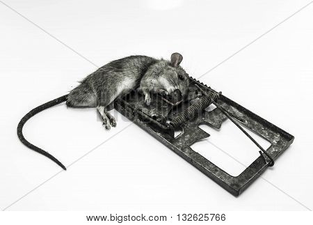 Black and white dead rat in a dirty trap