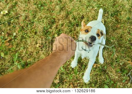Parson Jack Russell Terrier puppy, biting and jumping for a stick, tan rough coated, outdoors in park while playing