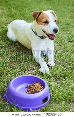 Jack Russell Parson Terrier dog start eating food out of the bowl outside at green grass lawn, feeding