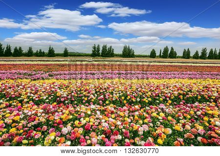 Israeli kibbutz close to the border.  Spring flowering buttercups. Magnificent flower carpet of colorful garden buttercups