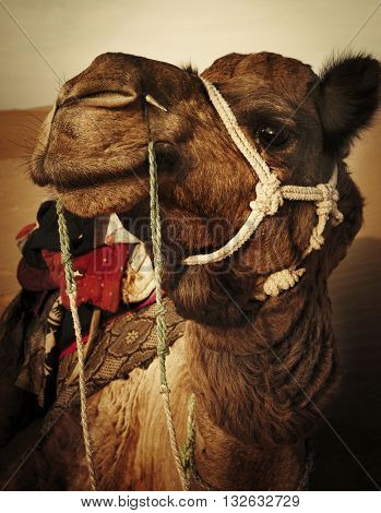 Camel in the Thar Desert Rajasthan India Concept