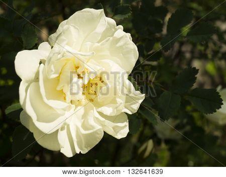 Blanching flowering rose on dark background sheet in garden