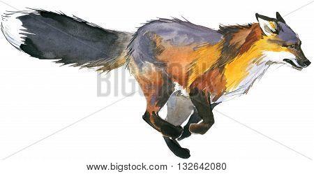 Fox. Fox hunting. Cute Fox. Watercolor Fox illustration.