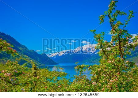 Blossoming season and mountains in Hardangerfjord in Norway