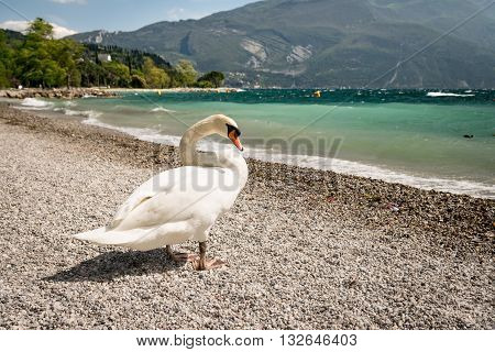 Swan on the stony shore of the lake.