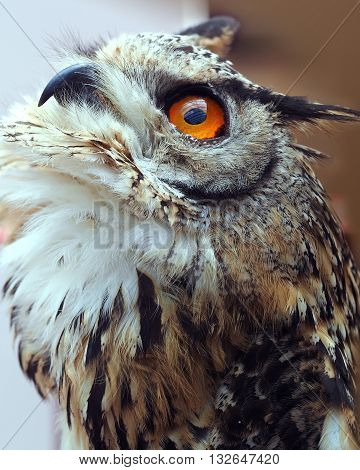 Owl with bright orange eye anf ruffled feather  plumage