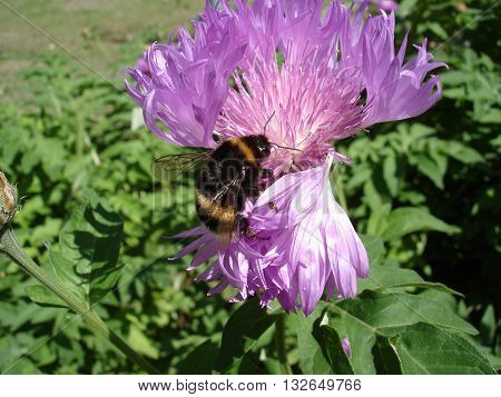A bumblebee loaded with pollen on a cornflower flower.