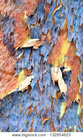 Australian gumtree shedding its colourful blue and purple winter bark to reveal fresh yellow and pink spring bark
