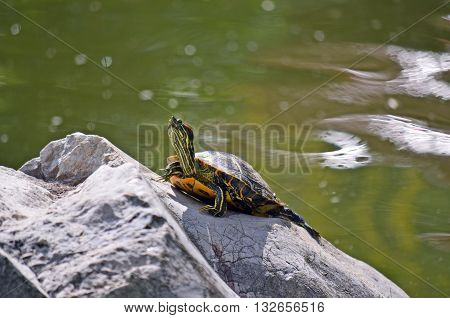 Yellow bellied slider turtle (Trachemys scripta) sunning itself on a rock