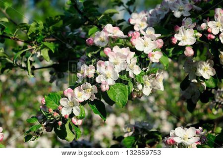 Apple tree brunch in bloom closeup horizontal