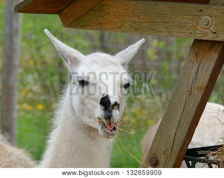 Lamy smile.  Boryszew, Poland - May 03, 2016 Lama at his paśniku in a zoo in Boryszew.