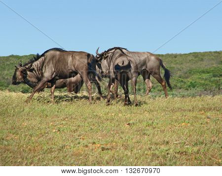 Blue Wildebeest, Koeberg Nature Reserve, Cape Town South Africa