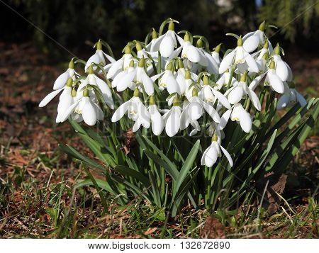 White snowdrops. Sunny spring day in city park.