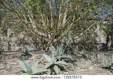 Agave landscape in the botanical garden in Oaxaca, Oaxaca, Mexico