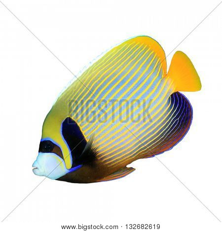 Tropical fish: Emperor Angelfish isolated on white background