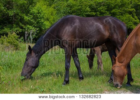 horses graze in the meadow in the forest