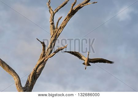 White faced heron, also called white-fronted heron, flying near dried branch, South Australia