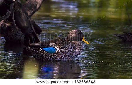 Duck on the water swimming around in peace