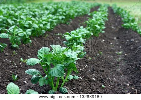 Green field with rows of organic potato plants