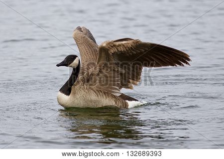 Beautiful picture with a Canada goose in the lake