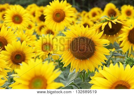 Close up of field filled with sunflowers in full bloom with selective focus on center sunflower