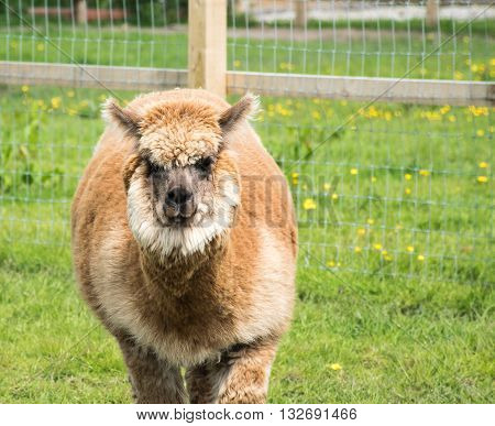 Brown Alpaca walking around in its field