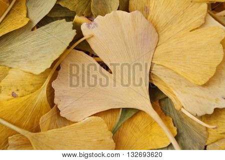 Closeup of yellow ginkgo leaves fallen from the tree