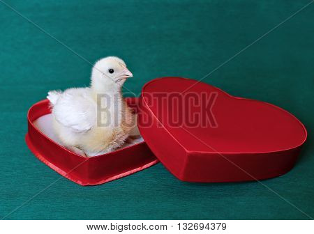 Nestling little yellow chick in a red gift box in heart shape on a green background