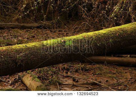 a picture of an exterior Pacific Northwest of a downed Douglas fir tree with moss