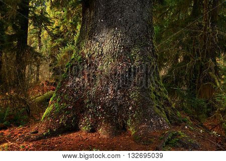 a picture of an exterior Pacific Northwest old growth Sitka spruce tree trunk in rainforest