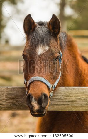 Arabian bay mare horse looking over wooden corral fence