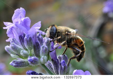 Bees collect pollen from lavender blue flower