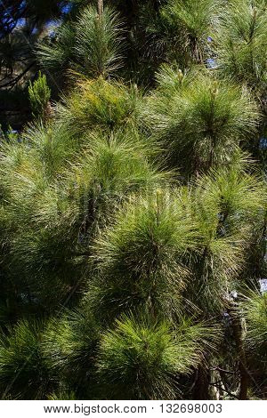 Canarian pines, pinus canariensis in Tenerife, road to Teide volcano. La caldera