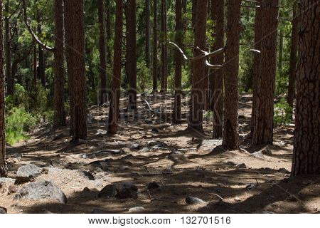 Dirt road in pine forest, Tenerife, Pinolere, Canary islands. Pinus canariensis