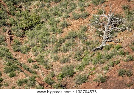 dead juniper tree at sandstone cliff - Red Mountain Open Space in northern Colorado near Fort Collins