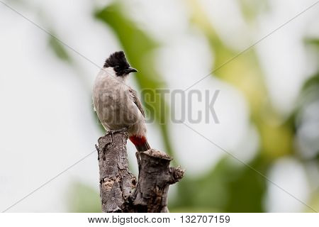 Close up Sooty headed Bulbul (Pycnonotus aurigaster)