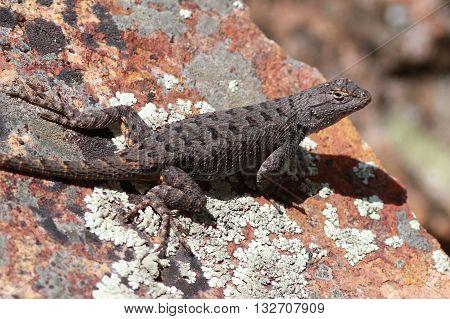 A Dark Western Fence Lizard on orange rocks