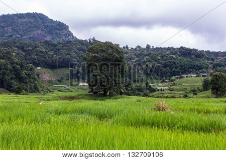 Terraced Rice Field, Pha Mon Chiangmai Thailand