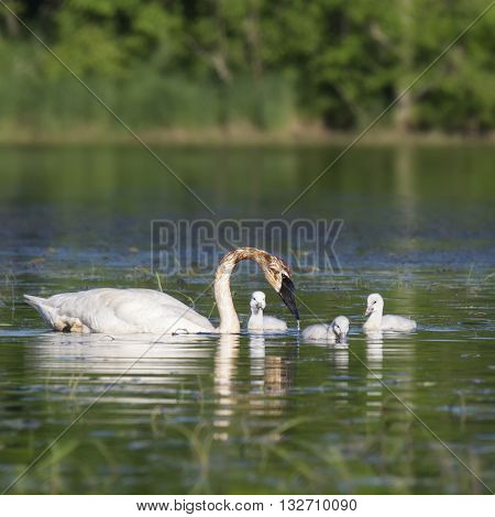 Trumpeter swan with three cygnets.  Springtime in Wisconsin.