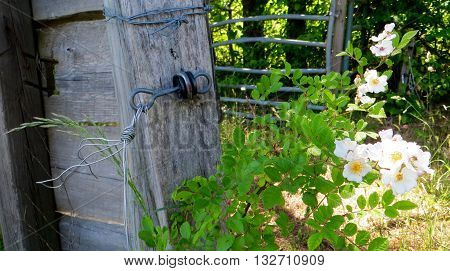 Old farmhouse gate surrounded with Cherry Blossom flowers
