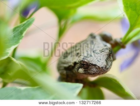 Tree frog sits on a vinca vine up close to the camera