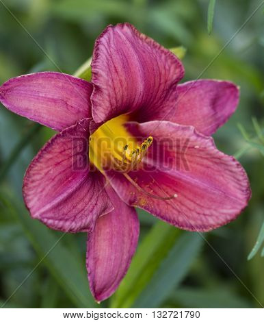 Fancy Red Wine Daylily Perennial Flowering Bulbs
