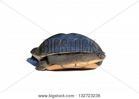 Eastern Long Neck Turtle hiding in shell isolated on white background