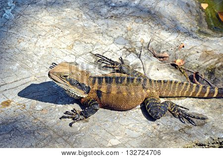 Australian Eastern Water Dragon sunning itself on a rock