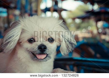 Dog so cute mixed breed with Shih-Tzu, Pomeranian and Poodle  travel run on beach, Beige color