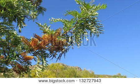 Flower of Australian native tree the River Banksia Banksia seminuda found in Andalusian countryside
