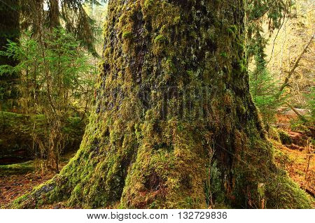 a picture of an exterior Pacific Northwest old growth Sitka  spruce tree
