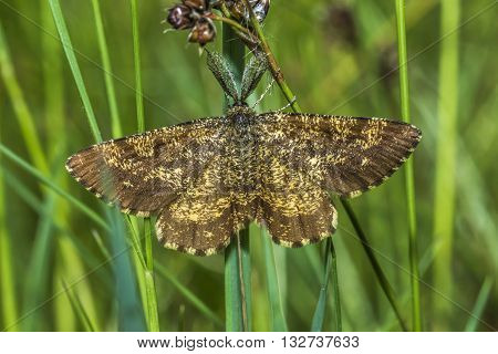 A heather moth is sitting on a grass-stock