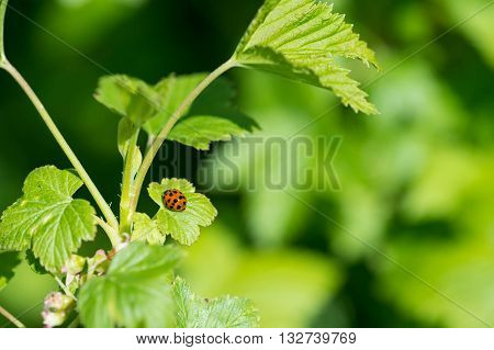 Ladybug On A Leaf Of Currant Close Up